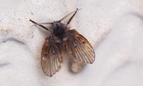 Como eliminar as moscas de ralo